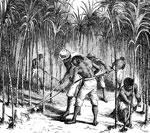 American Slavery: Sugar cane