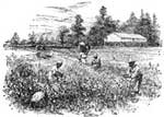 Cotton Plantation: A Cotton field in Georgia