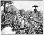 Cotton Plantation: Gathering Cotton in the Field